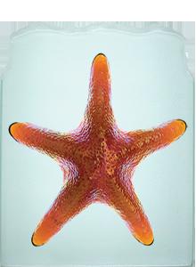 Honey Starfish